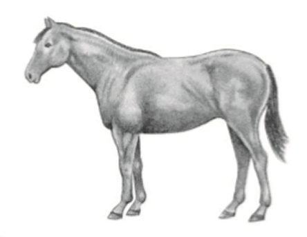 Horse in moderately fleshy condition