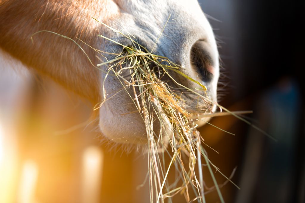 Understanding Equine Hind Gut Acidosis and Which Horses are at Risk?